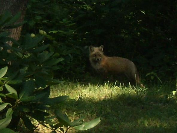 The fox that resides on the property.