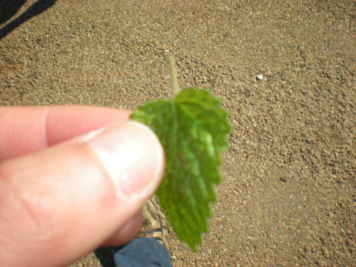 Mint leaf from the garden at Colonial Williamsburg.